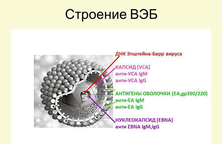 Вирус Эпштейна-Барр